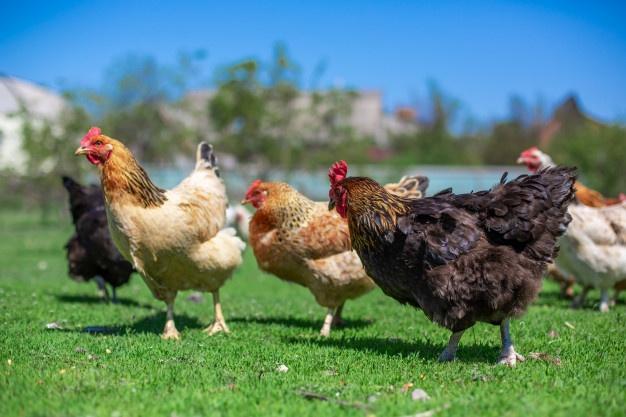 coq-poulets-paissent-herbe-verte-betail-dans-village_105751-672